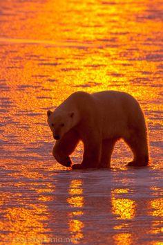 "radivs: "" Polar Bear Sunset by Ricardo Jamin """