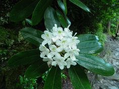 "Rosebay rhododendron or ""laurel"" is reaching it's peak growth this time of year up in the #Smokies"