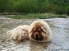 Il Mastino Tibetano soffre molto il caldo?