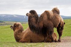 Desert Animals, Big Animals, Animals Of The World, Animals And Pets, Alpacas, Bactrian Camel, Camelus, Okapi, Long Legs