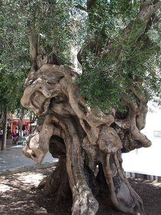 Unique Tree. Palma. Majorca by Bernard Mowbray, via Flickr