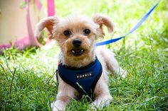 Yorkie_Picnic30 by William Eng Photography (aka eggrollboy), via Flickr