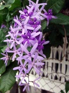 Purple Wreath or Queen's Wreath Flowering Vine Plants, Hoya Plants, Planting Flowers, Sugar Flowers, Purple Flowers, Flowers Nature, Beautiful Flowers, Tropical House Plants, Tropical Nursery
