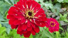 Zinnias: How to Plant, Grow, and Care for Zinnia Flowers from The Old Farmer's Almanac. Long Blooming Perennials, Hardy Perennials, Flowers Perennials, Thornless Climbing Roses, Yellow Climbing Rose, Flower Pot Design, Old Farmers Almanac, Flower Pots, Outdoor Living