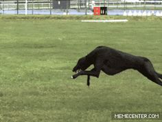 Greyhound running at full speed in slow-mo. Poetry in motion.