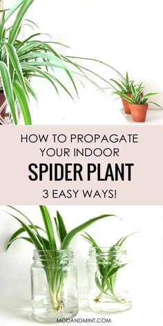 3 Ways to Propagate your Spider Plant Babies: Turn them into new full-grown plants for free! - - 3 Ways to Propagate your Spider Plant Babies: Turn them into new full-grown plants for free! Outdoor Plants, Garden Plants, House Plants, Water Plants Indoor, Flowering Plants, Outdoor Gardens, Indoor Plants Low Light, Cactus Plants, Container Plants