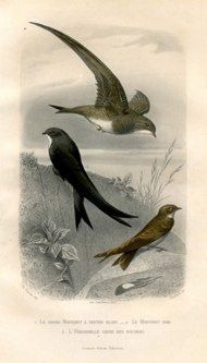 """cuvier birds french 1841 hand coloured engraving 7 x 11"""" $110 - 11"""