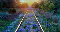 Bing Image Archive: Texas bluebonnets on railroad tracks, Texas (© Jeremy Woodhouse/Corbis)(Bing United Kingdom)