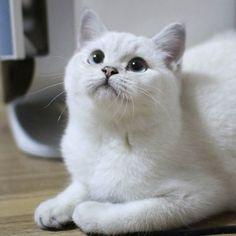 #브리티쉬숏헤어 #브리티쉬캐터리 #캐터리 #캐논 #캣스타그램 #펫 #펫스타그램 #고양이 #britishcattery #british #cats #canon #cat #cattery #catoftheday #cats_of_instagram #ilovemycats #instapet #instaphoto #instarcat #insta #instaanimal #kittensofinstagram #jj_justcats #thedailykitten #adorable #followme #고양이분양 브리티쉬숏헤어 장비 by @stpsb750 cat enclosures  cat cats kitty cute catlover catsofinstagram catcam instacat catstagram catsagram lovecats cat product reviews