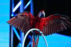 """Adopted Moluccan cockatoo Dolly shows off her vibrant colors during the NATURE """"Parrot Confidential"""" session at the Television Critics Association Summer Press Tour. (photo: Rahoul Ghose/PBS)"""