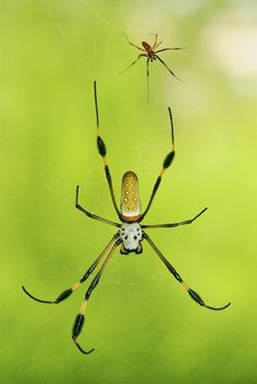 A male (top) and female golden orb-weavers