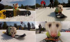 Hysterical video of Ratatouille the snowboarding opossum (who comes complete with gnarly wooly jumper)