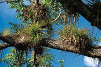 Las bromeliáceas y otras epífitas se asientan en las ramas altas de los árboles en busca de luz.