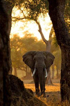 A giant is framed by trees at dawn in the forests of Mana Pools, Zimbabwe. © Morkel Erasmus