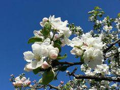 Omenapuu kukkii.