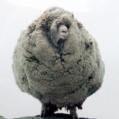 Shrek was a Merino wether belonging to Bendigo Station, a sheep station near Tarras, New Zealand, who gained international fame in 2004 after he avoided being caught and shorn for six years.
