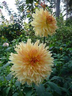 Dahlia 'Orange Plume', Parc Floral de Paris, Paris 12e (75), 15 septembre 2012, photo Alain Delavie  http://www.pariscotejardin.fr/2012/09/dahlia-orange-plume/