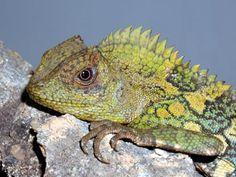 gonocephalus chamaeleontinus - Google Search