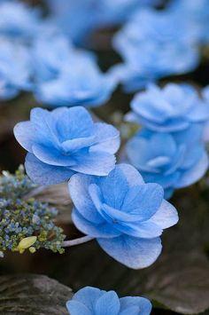 Blue Hydrangea macrophylla