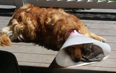 Cat Joins Her Dog Friend in His Cone of Shame