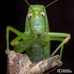 1,887 отметок «Нравится», 119 комментариев — Dustin Rhoades (@dustin.rhoades) в Instagram: «How about a googly-eyed katydid to kick off the week? After a long day, sorta matches the way I'm…»