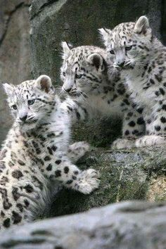 Snow leopard cubs....