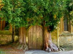 GLOUCESTERSHIRE, ST. EDWARD'S PARISH CHURCH - A pair of ancient yew trees guard the north door, Stow on the Wold.