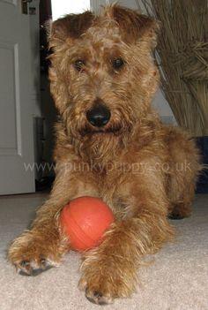 Daisy the Irish Terrier