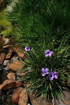 Water Corporation of WA - Blue eyed grass