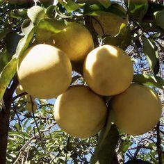 Citrus tree care. Solution for killing aphids mites etc