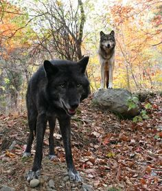 Blackstar and Nightsong, in the Lakota Wolf Preserve in Columbia NJ.I have been there, the wolves are so beautiful. Beautiful Wolves, Beautiful Dogs, Animals Beautiful, Wolf Goddess, Wolf Hybrid, Wolf Stuff, Wolf Pup, Howl At The Moon, Wolf Pictures