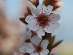 Japanese Cherry Blossom | BEAUTIFUL FLOWERS: Cherry Blossom Flowers - Pictures & Meanings