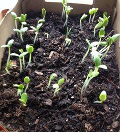 #heirloom #cucumber @Botanical Interests #gardening  pic.twitter.com/zpuJ4CYQe2