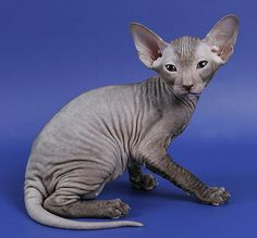 Peterbald cat- originated in St. Petersburg, Russia in 1994.  They are a cross between a male Don Hairless and a female Oriental Shorthair. Siamese and Russian was later introduced into the bloodline. Hairless is the preferred but also comes in brush, flocked and velour and come in many colors.