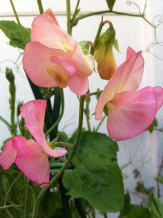 .....sweet peas bloom.
