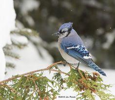 Les Piccolo - Blue Jay Northern Ontario Canada Canada Eh, Blue Jay, Ontario, Road Trip, Birds, Deviantart, Photography, Bird, Photograph