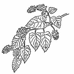 http://classroomclipart.com/images/gallery/Plants/Herbs/hops.jpg