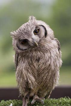 Bonjour charmant hibou ! Such a cool Owl.