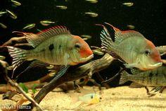 Tropical Freshwater Fish, Tropical Fish Aquarium, Freshwater Aquarium Fish, South American Cichlids, Aquarium Landscape, Monster Fishing, Cool Fish, Paludarium, African Cichlids