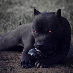 All Black Pitbull, Black Pitbull Puppies, Pitbull Wallpaper, American Staffordshire Terrier, Scary Dogs, Yorkie Puppy, Animal Decor, Animal Nursery, Cute Baby Animals