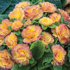 Sun Perennials At Spring Hill Nurseries Anita Margarita Zone 7 Shade