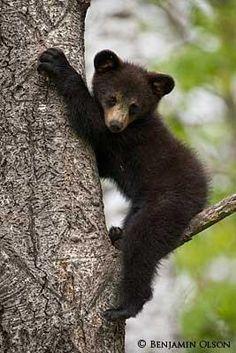 Little Black Bear Sittin' in a Tree
