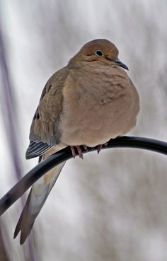 [CasaGiardino]  ♡  One of my favourite backyard birds.  (Mourning Dove by cheryl smith, via 500px~cl)