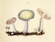 Stropharia coerulea. Image is under CC BY-NC-SA of Natural History Museum of Denmark (http://1url.cz/H2lL).