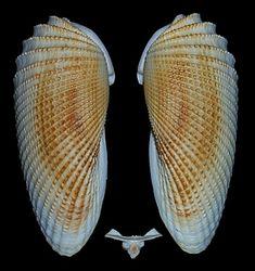 Cyrtopleura costata (Linnaeus, 1758) Angelwing