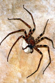 Best legs Giant huntsman spider (Heteropoda maxima) The Goliath birdeater may be the world's largest spider by mass, but the giant huntsma...