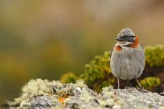 mis fotos de aves: Chingolo [Zonotrichia capensis] Rufous-collared sp...