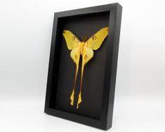 Argema mittrei male framed comet moth Madagascar | Etsy Giant Moth, Habitat Destruction, Third World Countries, Madagascar, Habitats, Things To Come, Frame, Artwork, Etsy