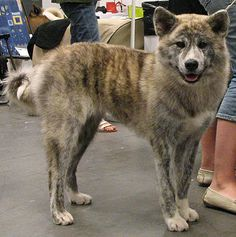 A brindle Japanese Akita Inu. One of the smartest, and rarest, dogs in the world.
