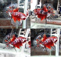 Archived Auction # - Fancy Koi # 622 - Ended: Thu Mar 27 2014 Pretty Fish, Beautiful Fish, Animals Beautiful, Koi Betta, Betta Tank, Colorful Fish, Tropical Fish, Poisson Combatant, Betta Breeding